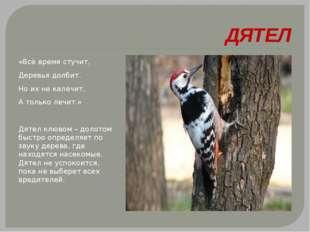 ДЯТЕЛ «Всё время стучит, Деревья долбит. Но их не калечит, А только лечит.»