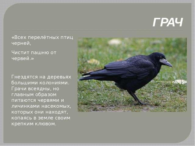 ГРАЧ «Всех перелётных птиц черней, Чистит пашню от червей.» Гнездятся на дер...