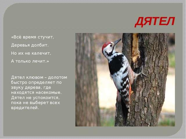 ДЯТЕЛ «Всё время стучит, Деревья долбит. Но их не калечит, А только лечит.»...