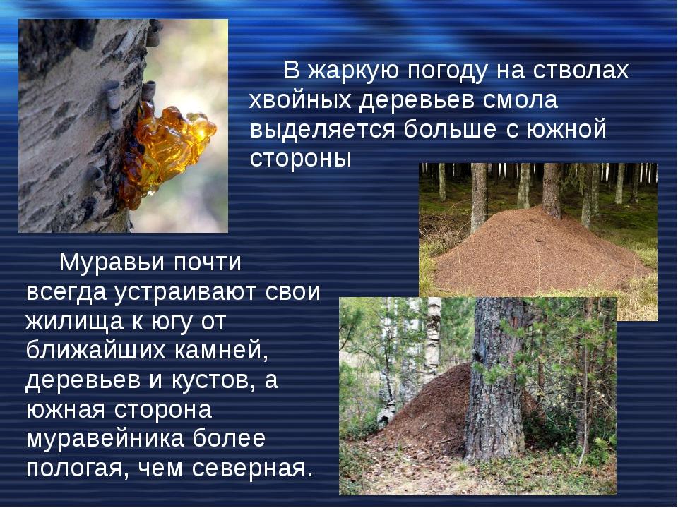 В жаркую погоду на стволах хвойных деревьев смола выделяется больше с южной с...
