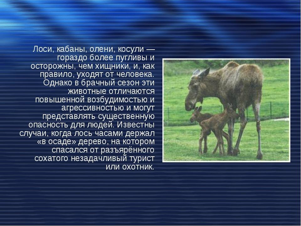 Лоси, кабаны, олени, косули — гораздо более пугливы и осторожны, чем хищники,...