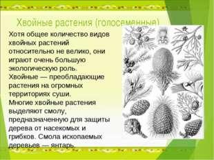 Хвойные растения (голосеменные) Хотя общее количество видов хвойных растений
