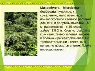 Микробиота – Microbiota decussata, чудесное, к сожалению, мало известное почв
