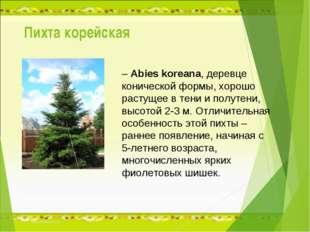 Пихта корейская – Abies koreana, деревце конической формы, хорошо растущее в