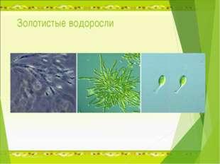 Золотистые водоросли