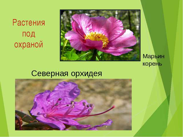 Растения под охраной Cеверная орхидея Марьин корень