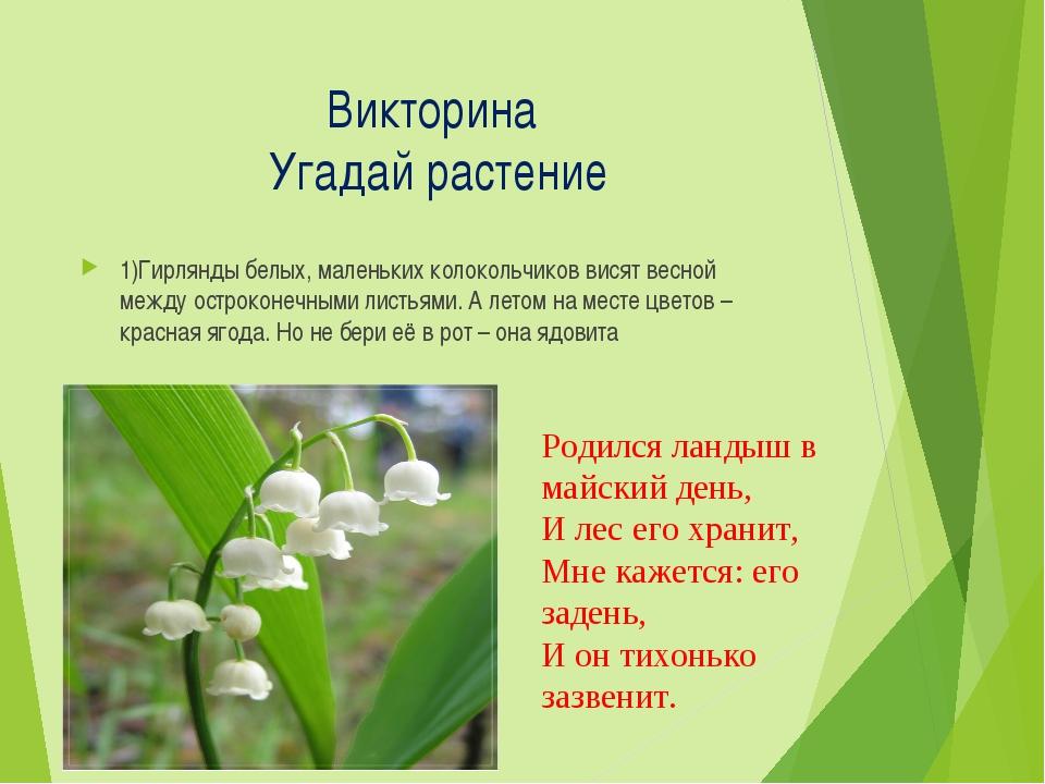 Викторина Угадай растение 1)Гирлянды белых, маленьких колокольчиков висят вес...