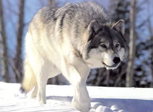 Файл:Canis lupus 265b.jpg