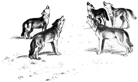 Файл:Canis lupus howling (illustration).jpg