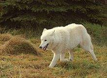 http://upload.wikimedia.org/wikipedia/commons/thumb/e/ed/Polarwolf004.jpg/220px-Polarwolf004.jpg
