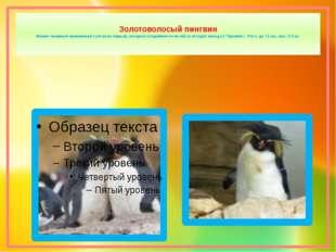 Золотоволосый пингвин Имеют пышный оранжевый султан из перьев, которые соеди
