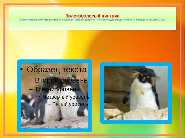 Золотоволосый пингвин Имеют пышный оранжевый султан из перьев, которые соеди...