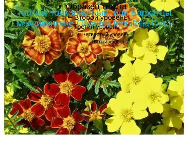 Тагетес тонколистный, или Бархатцы мексиканские (Tagetes tenuifolia Cm.)