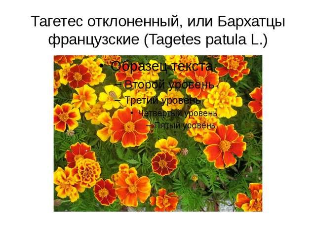 Тагетес отклоненный, или Бархатцы французские (Tagetes patula L.)