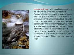 Кавказский улар - типичный представитель альпийского и субнивального поясов Г