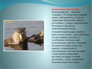 Кавказская речная выдра. Исчезающий вид – «Красная страница». Это некрупный х