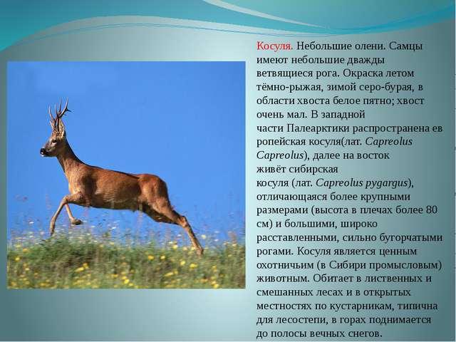 Косуля. Небольшие олени. Самцы имеют небольшие дважды ветвящиеся рога. Окраск...