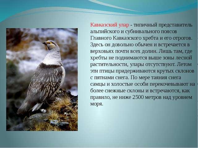 Кавказский улар - типичный представитель альпийского и субнивального поясов Г...