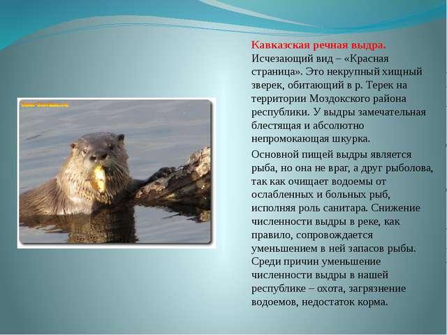 Кавказская речная выдра. Исчезающий вид – «Красная страница». Это некрупный х...