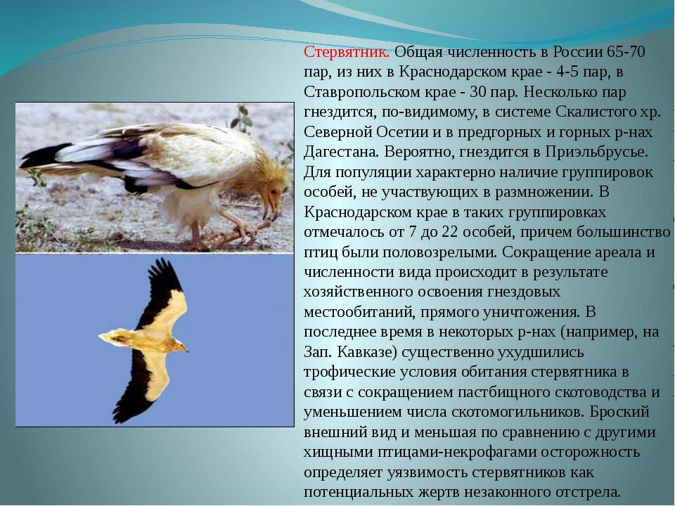 Стервятник. Общая численность в России 65-70 пар, из них в Краснодарском крае...