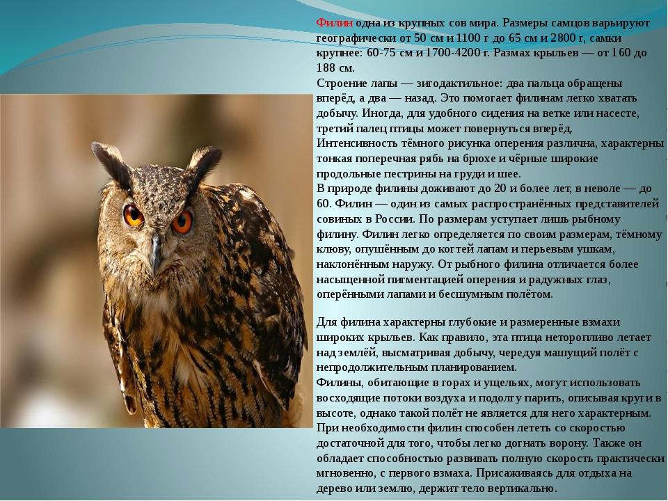 Филин одна из крупных сов мира. Размеры самцов варьируют географически от 50...