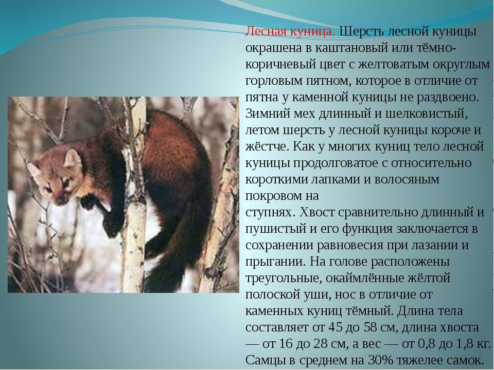 Лесная куница. Шерстьлесной куницы окрашена в каштановый или тёмно-коричневы...