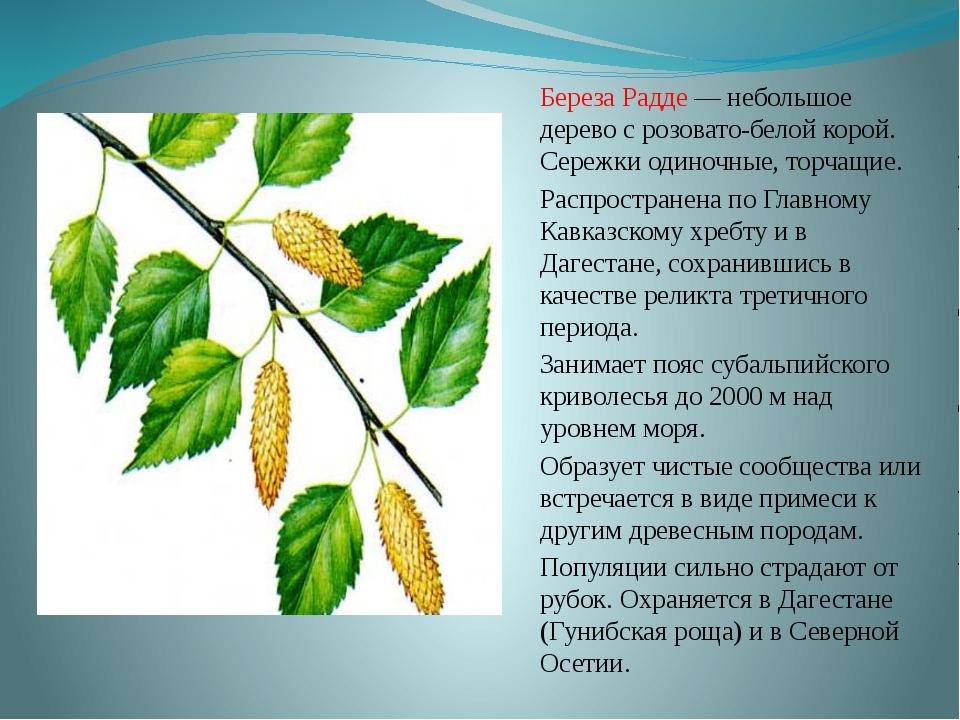 Береза Радде — небольшое дерево с розовато-белой корой. Сережки одиночные, то...