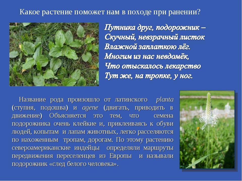 Какое растение поможет нам в походе при ранении? Название рода произошло от л...