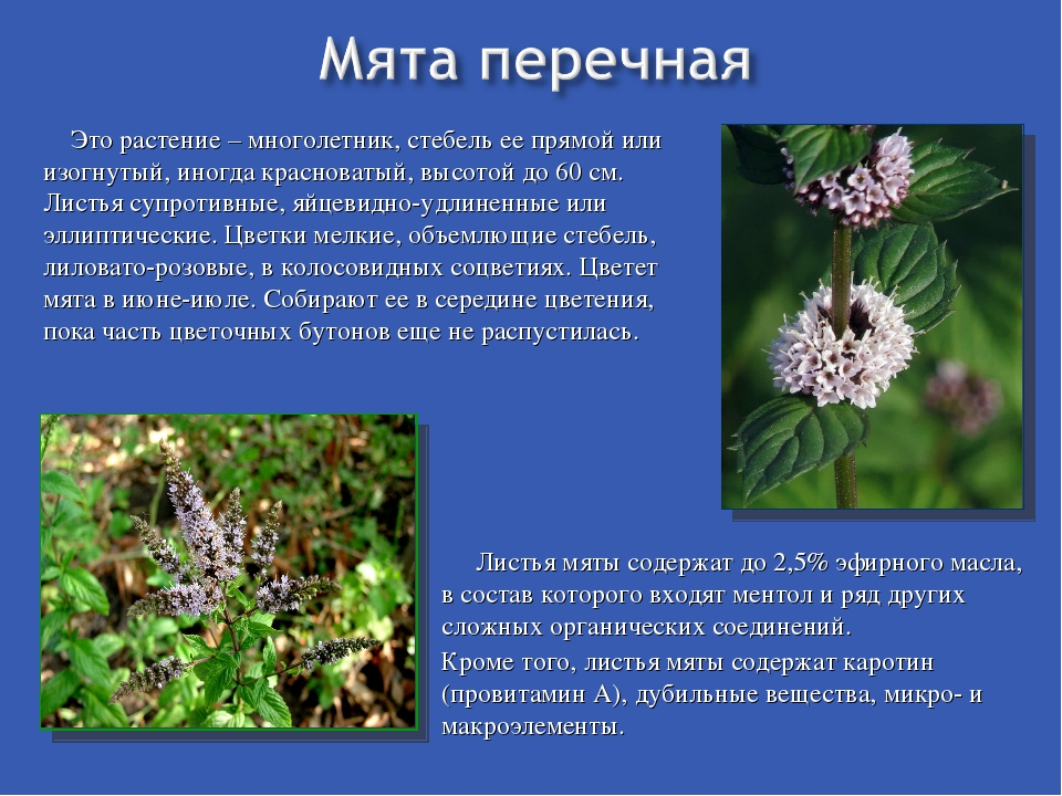 Это растение – многолетник, стебель ее прямой или изогнутый, иногда краснова...