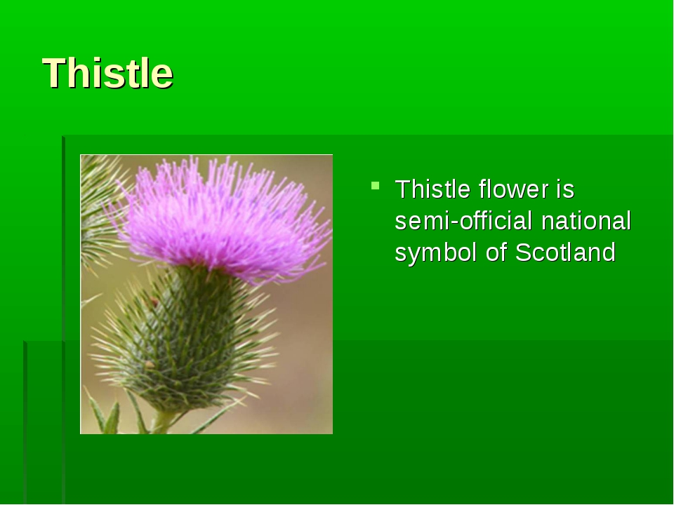 Thistle Thistle flower is semi-official national symbol of Scotland