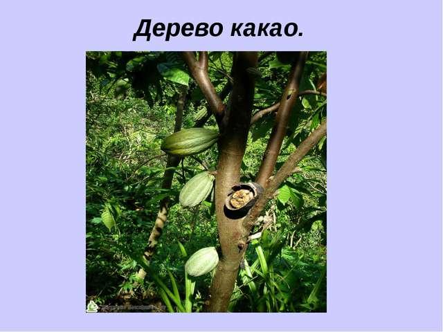Дерево какао.