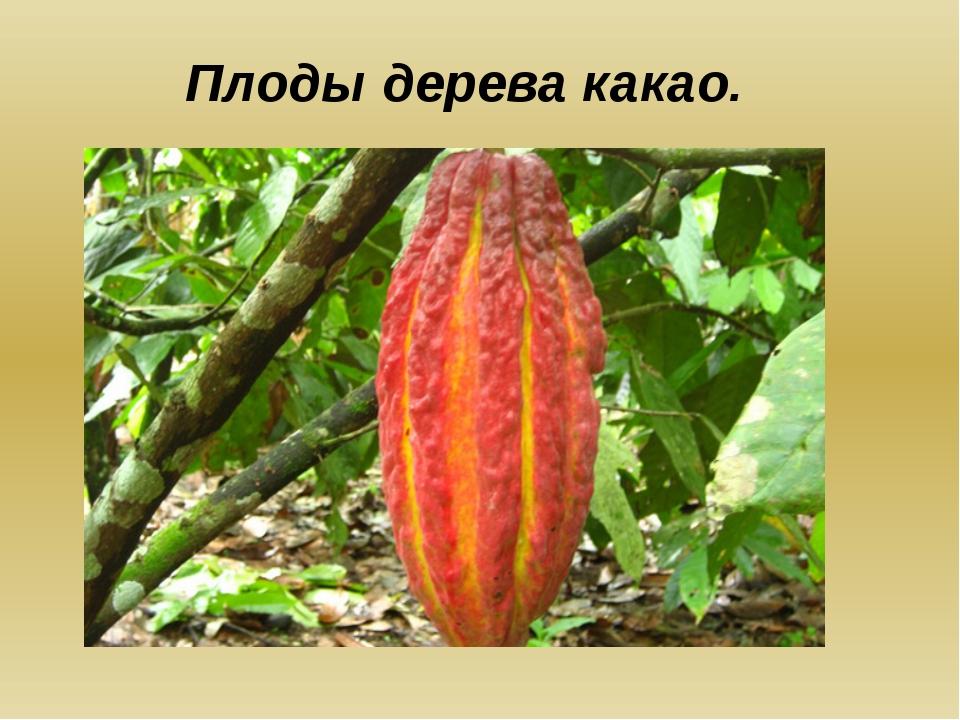 Плоды дерева какао.