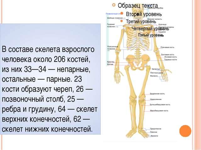 В составе скелета взрослого человека около 206 костей, из них 33—34— непарны...