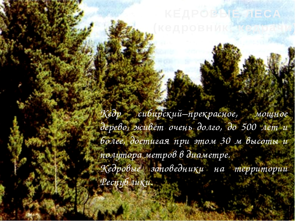 Кедр сибирский–прекрасное, мощное дерево, живет очень долго, до 500 лет и бол...