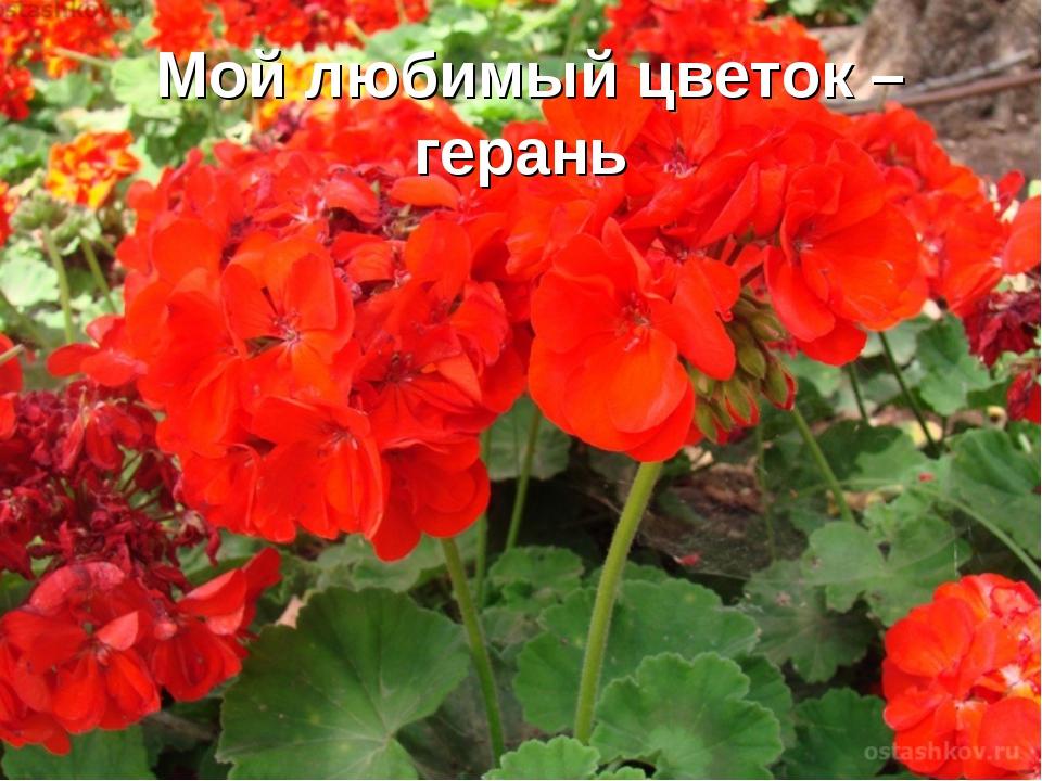 Мой любимый цветок – герань