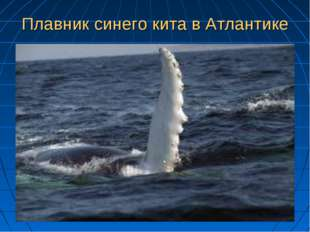 Плавник синего кита в Атлантике