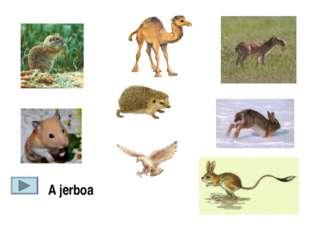 A jerboa