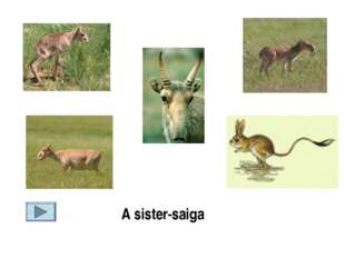 A sister-saiga