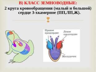 В) КЛАСС ЗЕМНОВОДНЫЕ: 2 круга кровообращения (малый и большой) сердце 3-хкаме