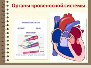 Назовите органы Кровеносной системы ОРГАНЫ КРОВЕНОСНОЙ СИСТЕМЫ: 1.СЕРДЦЕ – ПР