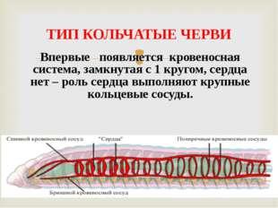 Впервые появляется кровеносная система, замкнутая с 1 кругом, сердца нет – ро