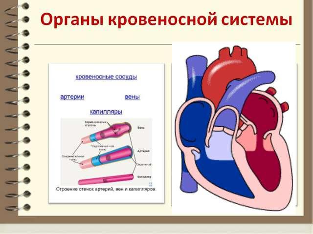 Назовите органы Кровеносной системы ОРГАНЫ КРОВЕНОСНОЙ СИСТЕМЫ: 1.СЕРДЦЕ – ПР...