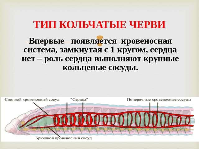 Впервые появляется кровеносная система, замкнутая с 1 кругом, сердца нет – ро...
