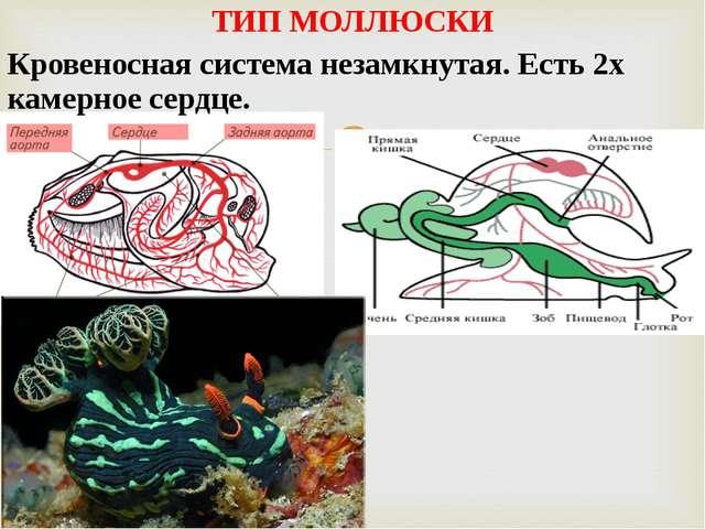 ТИП МОЛЛЮСКИ Кровеносная система незамкнутая. Есть 2х камерное сердце.
