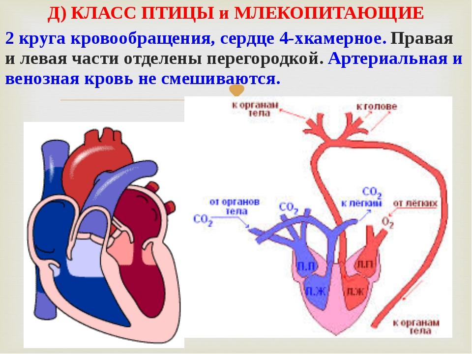 Д) КЛАСС ПТИЦЫ и МЛЕКОПИТАЮЩИЕ 2 круга кровообращения, сердце 4-хкамерное. Пр...