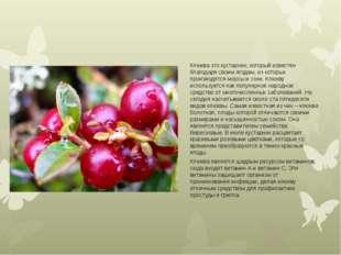 Клюква это кустарник, который известен благодаря своим ягодам, из которых про