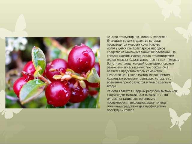 Клюква это кустарник, который известен благодаря своим ягодам, из которых про...