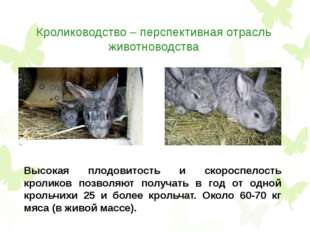 Кролиководство – перспективная отрасль животноводства Высокая плодовитость и