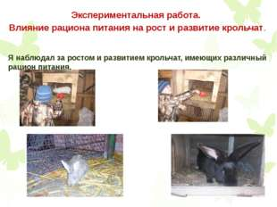 Экспериментальная работа. Влияние рациона питания на рост и развитие крольчат