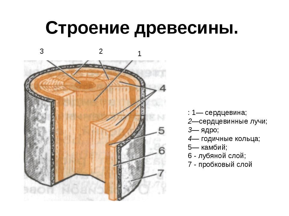 Строение древесины. : 1— сердцевина; 2—сердцевинные лучи; 3— ядро; 4— годичны...